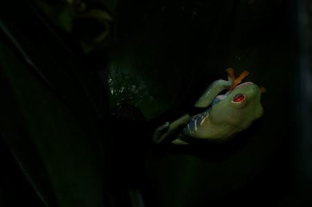 アカメアマガエル