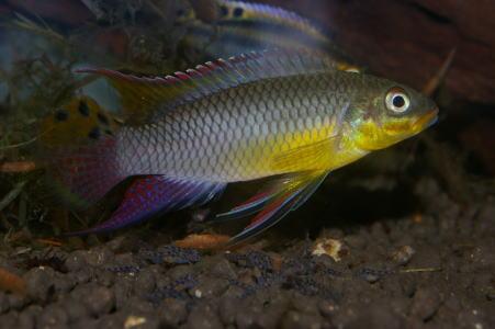Pel.タエニアートゥスモリウエ